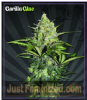 Auto Seeds Gorilla Glue Female 5 Marijuana Seeds